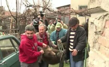 pui de urs Sibiu