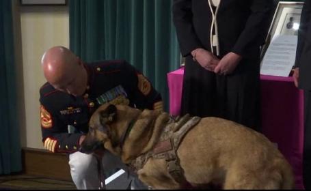 A salvat mii de soldati in Afganistan si a scapat cu viata din atacuri cu bombe. Cainele Lucca, medaliat pentru curaj