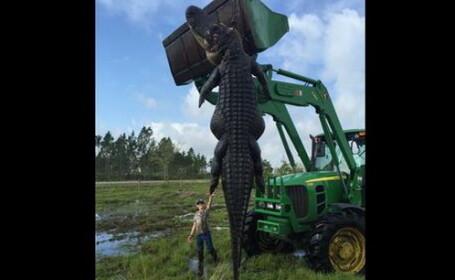 Vanatoare spectaculoasa de aligatori. Doi barbati au prins un exemplar urias de 360 de kilograme. FOTO