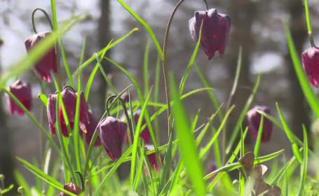 Floarea extrem de rara pe care mii de turisti vin sa o vada in Romania: \