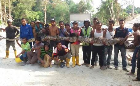 Cel mai lung sarpe din lume a fost capturat langa un santier din Malaezia. Cum arata pitonul de 8 metri si 250 de kilograme