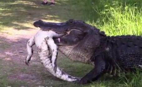 doi aligatori se canibalizeaza