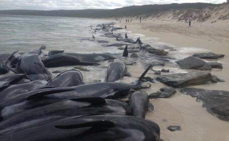 Sute de balene au eșuat în vestul Australiei