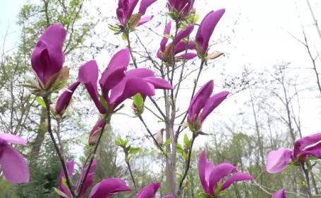 Locul unde puteți admira laleaua pestriță, floare protejată de lege