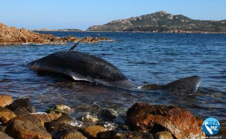 Balenă gestantă, eșuată pe o plajă. Descoperirea făcută în stomacul ei - 1