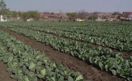 Planta care îi va salva pe fermierii români în bătălia cu clima. \