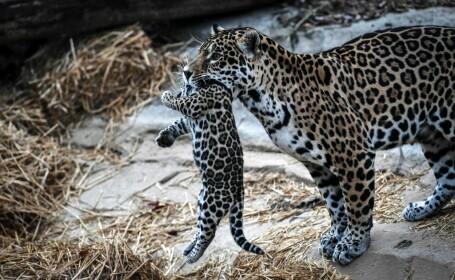 Primul pui de jaguar conceput prin inseminare artificială a fost mâncat de mamă