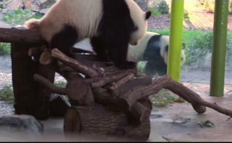 Doi urşi panda de la ZOO refuză să aibă o relaţie. \
