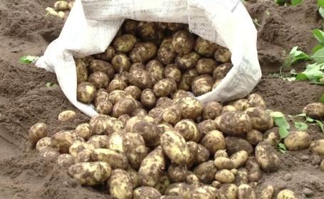 Fermierii din Sahara Olteniei au scos primii cartofi noi. Prețul cu care se vând