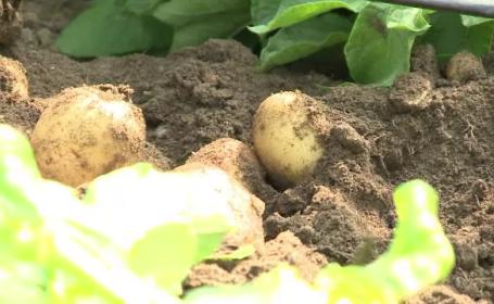 Cartofii noi vor ajunge în piețe. Cât costă kilogramul