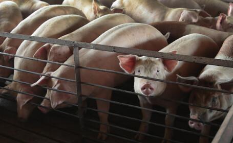 fermă de porci