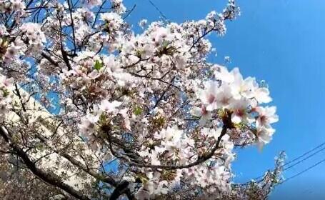 Premieră în Japonia. În acest an, cireșii au înflorit mai devreme ca oricând