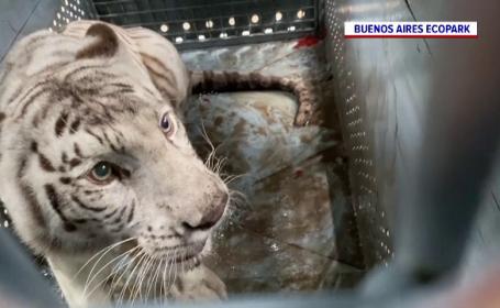 O pereche de tigri bengalezi, transferați din Argentina în SUA. Călătoria va dura 20 de ore