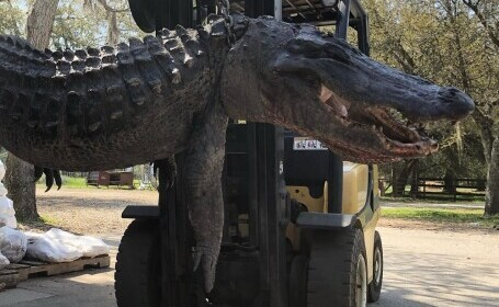 Obiectele care au aparținut unor câini au fost găsite în stomacul unui aligator, după 24 de ani