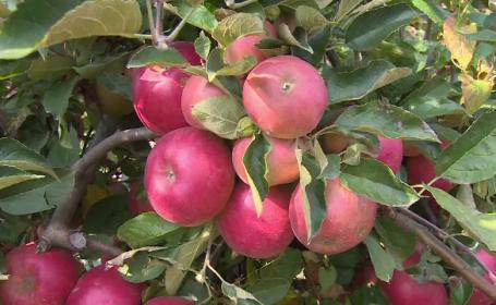 Pom fructifer