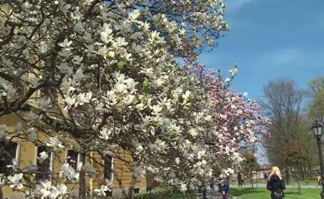 magnolii