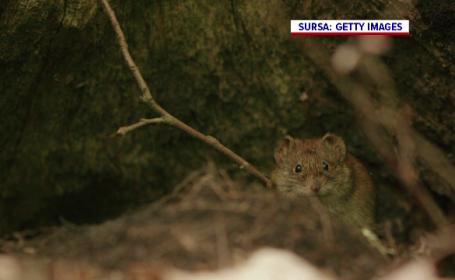 Șoarecele dungat a fost redescoperit în România după mai bine de un secol. Cum ar putea fi protejat