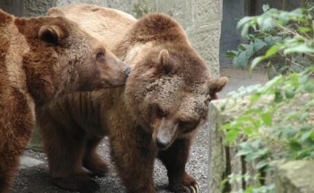 Cum trec peste canicula ursii de la zoo: cu bai in bazin si pepene rece