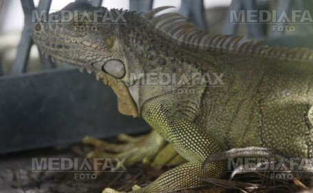 Iguana, unul din animalele exotice traficate