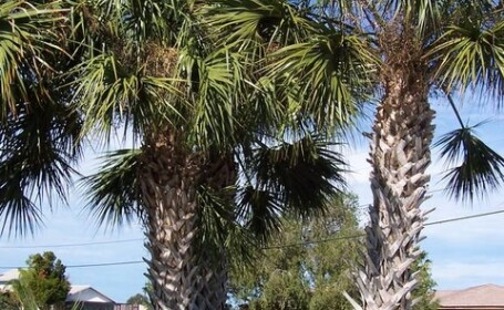 Craiova: Plantaram palmieri in loc de praz