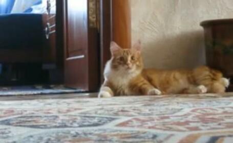 Sa vezi si sa nu crezi. Pisica bipeda: un viral care a strans 4 mil. de accesari in 7 zile. VIDEO