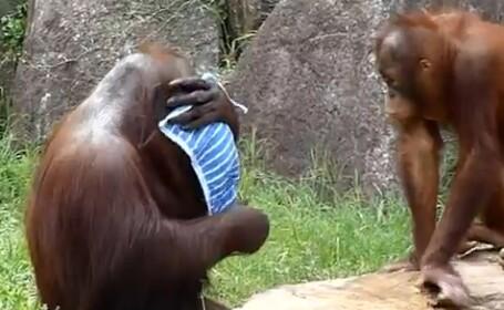 Marea maimutareala. Urangutanul care se comporta atat de uman, incat te astepti sa zica:\