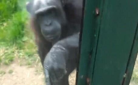 Cum a incercat un cimpanzeu sa scape de la Gradina Zoologica din Manchester. Acum e viral pe net