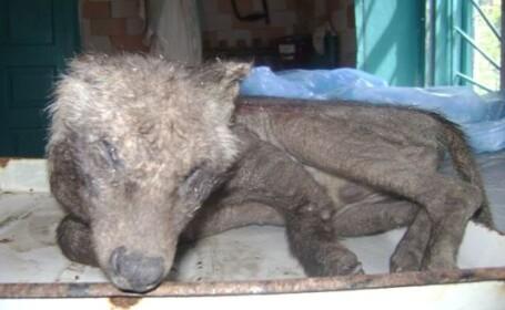 Animalul mutant sau hibrid: creatura bizara impuscata de vanatori. \