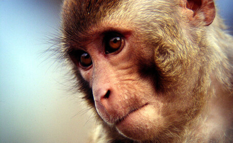 Un fermier din Nepal si-a impuscat mortal fiul dupa ce l-a confundat cu o maimuta