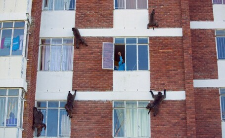 Un grup de maimute terorizeaza locuitorii dintr-un oras din Africa de Sud