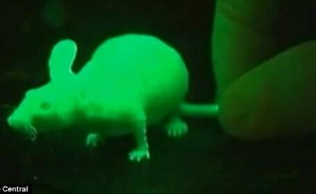 Oamenii de stiinta din Hawaii au crescut primii iepuri clonati care stralucesc in intuneric