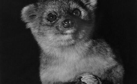 Oamenii de stiinta au descoperit o noua specie de mamifere. Ce este olinguito