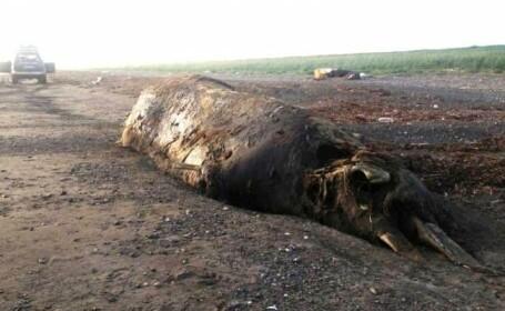 Creatura bizara descoperita la malul marii, in Rusia. \
