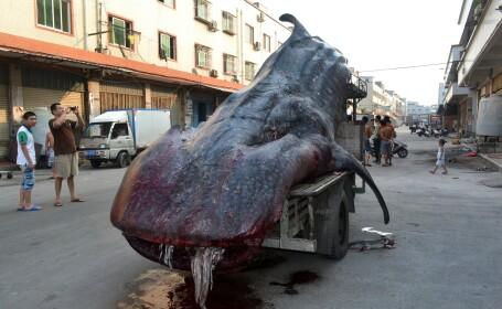 rechin balena