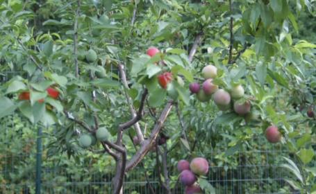 Cum arata pomul care da 40 de tipuri diferite de fructe. Un exemplar se vinde cu 30.000 de dolari