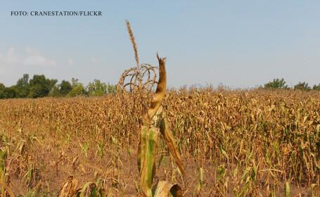 seceta, lan de porumb