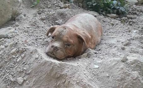 Mastiff ingropat de viu