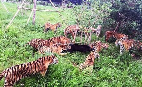Scene crunte intr-o gradina zoologica din China: momentul cutremurator in care un pui de urs este sfasiat de mai multi tigri