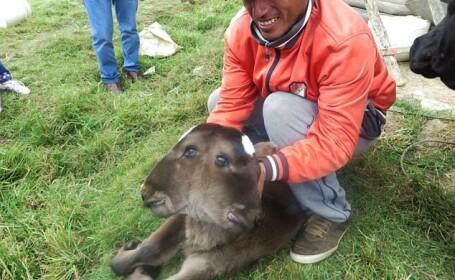 Un vitel cu doua capete s-a nascut intr-o localitate din Peru. Ce spun localnicii despre animalul bizar