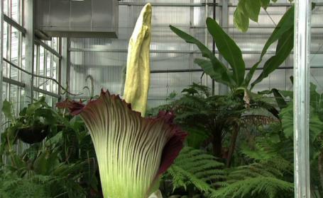 Mii de americani s-au strans la Gradina Botanica din Denver pentru a vedea floarea-cadavru: \
