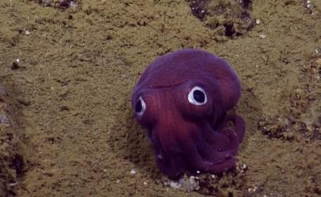 Nu este o jucarie, este o caracatita pitica! Descoperirea facuta in apele Californiei de un echipaj de explorare. VIDEO
