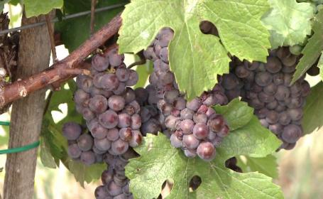 Vinul va fi mai dulce și mai gustos, însă redus cantitativ