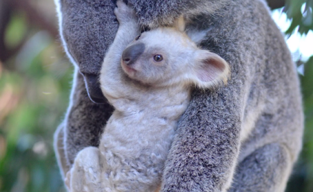 Pui koala alb