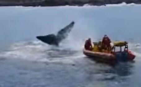 Salvare balenă
