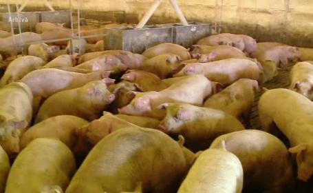 140 de mii de porci din cele trei ferme din Gropeni, sacrificaţi. Angajaţii vor rămâne fără locuri de muncă