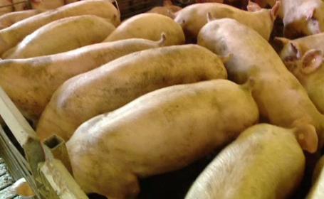 """Soluția care poate preveni răspândirea pestei porcine, ținută sub cheie. """"Am dat-o la femeie"""""""