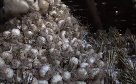 Cum putem să ne păcălim cu usturoiul românesc. Semințele folosite de fermieri