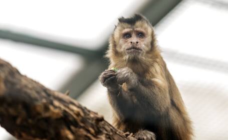 Cum a încercat o maimuță să scape de la ZOO. \