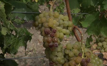 Viticultorii, încântați de calitatea vinului în acest an