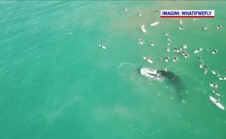 Întâlnire între mai mulți surferi și o balenă însoțită de pui. Ce s-a întâmplat